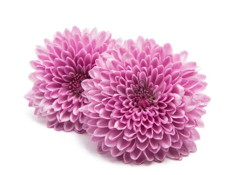 美丽的菊花 免版税库存照片