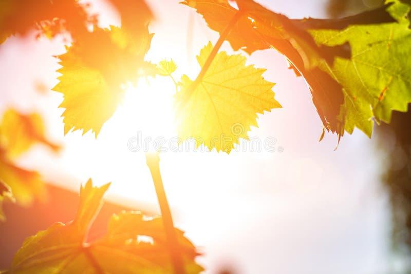 美丽的葡萄离开在日落在阳光 图库摄影