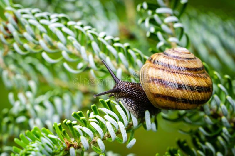 美丽的葡萄蜗牛螺旋pomatia、罗马蜗牛、伯根地蜗牛、食用蜗牛或者escargot特写镜头在银色针 库存图片