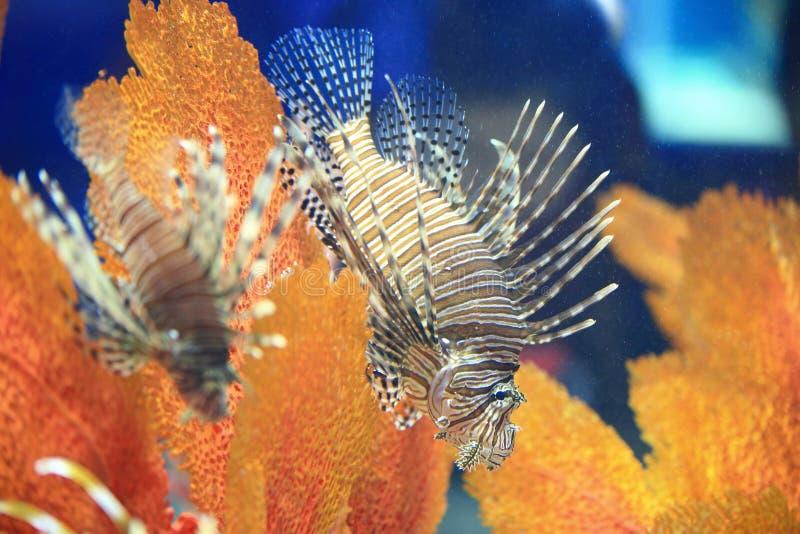 美丽的蓑鱼 免版税库存照片