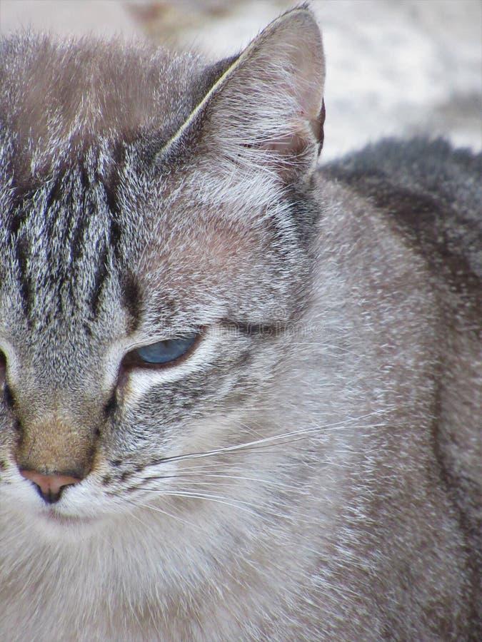美丽的蓝眼睛的猫特写镜头 免版税图库摄影