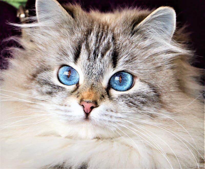美丽的蓝眼睛的西伯利亚猫 免版税图库摄影