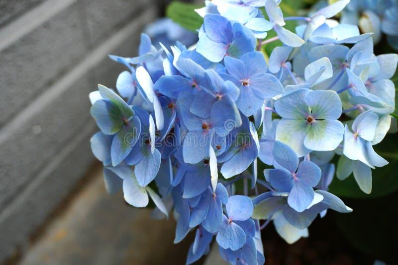 美丽的蓝色八仙花属花 免版税库存图片