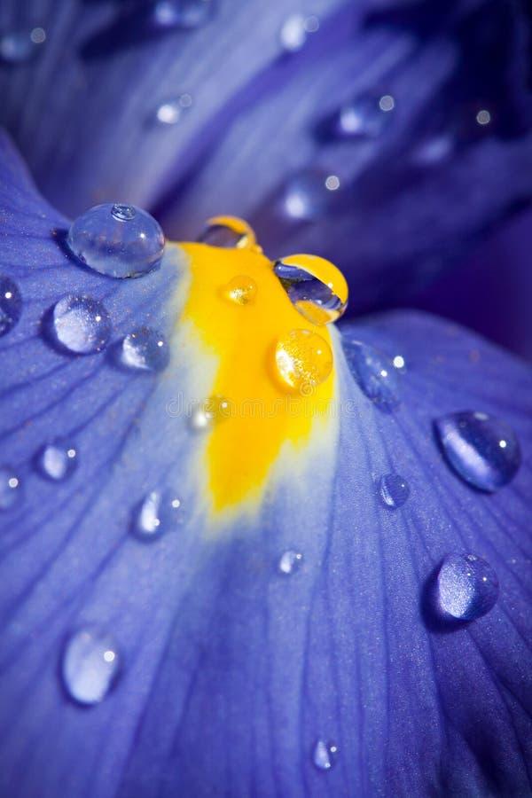美丽的蓝色特写镜头丢弃虹膜射击 库存图片