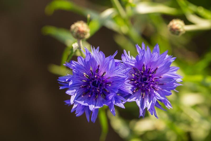 美丽的蓝色矢车菊在庭院里 开花夏天的花在阳光下 库存照片