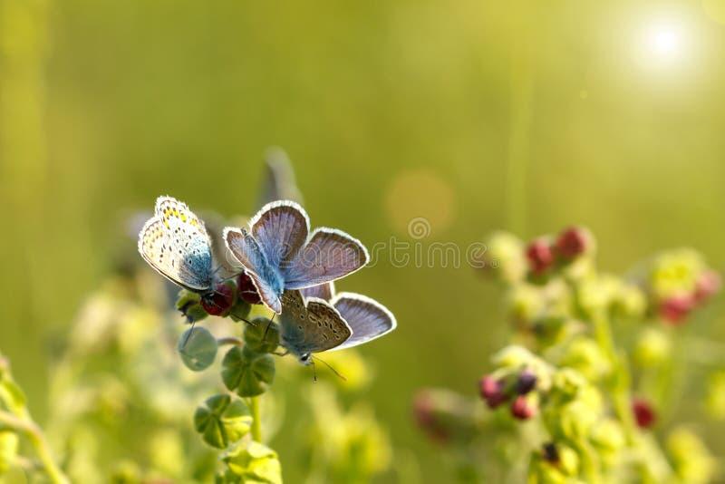 美丽的蓝色蝴蝶坐草在一个晴天 库存图片