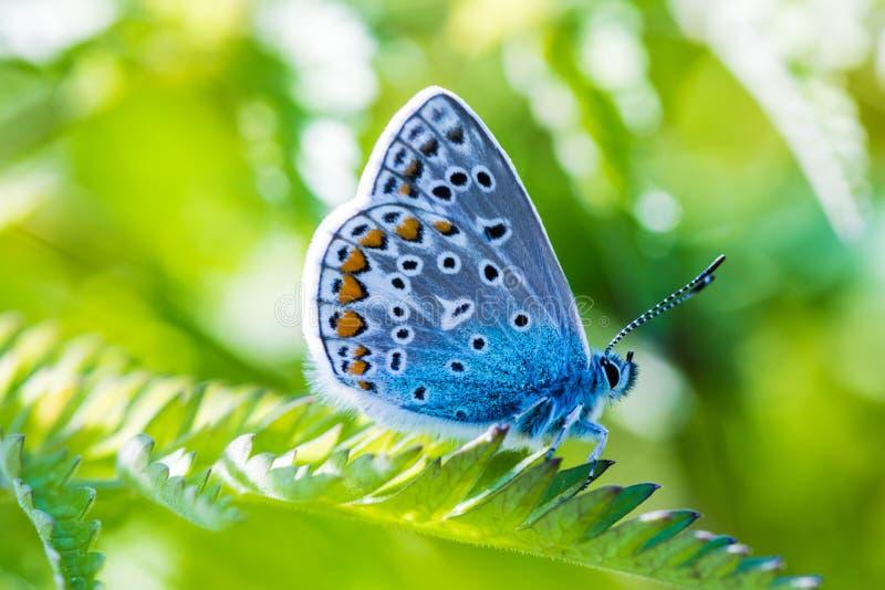 美丽的蓝色蝴蝶的宏观射击在小的绿草分支的在温暖的晴朗的天气 库存照片