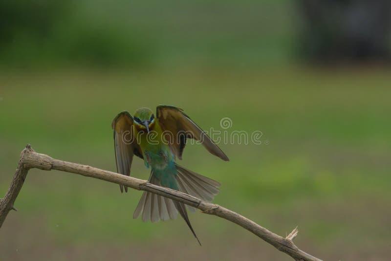 美丽的蓝色被盯梢的食蜂鸟飞行 库存图片