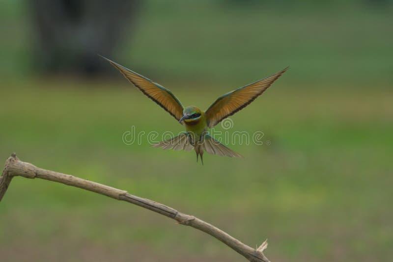 美丽的蓝色被盯梢的食蜂鸟飞行 免版税库存图片
