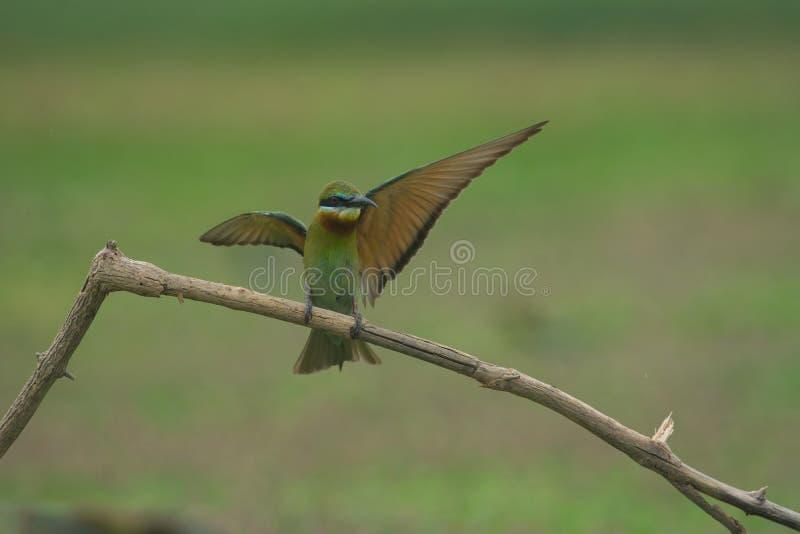 美丽的蓝色被盯梢的食蜂鸟飞行 免版税库存照片