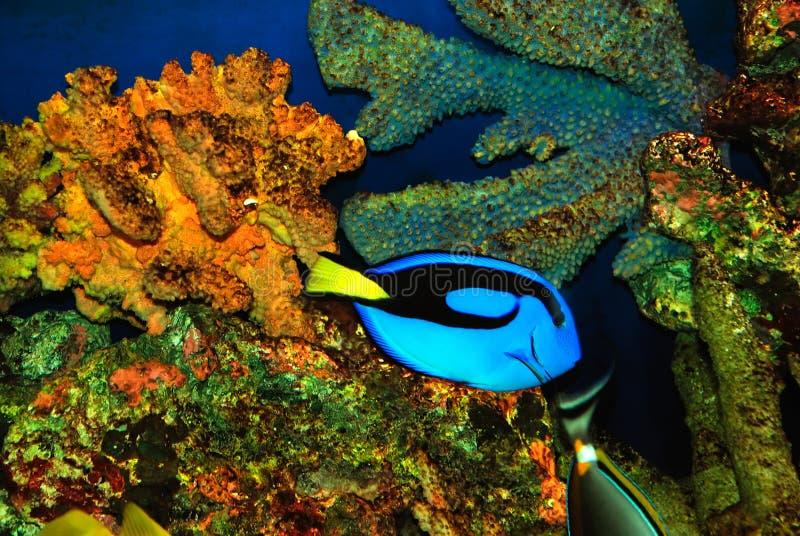 美丽的蓝色鱼 库存图片