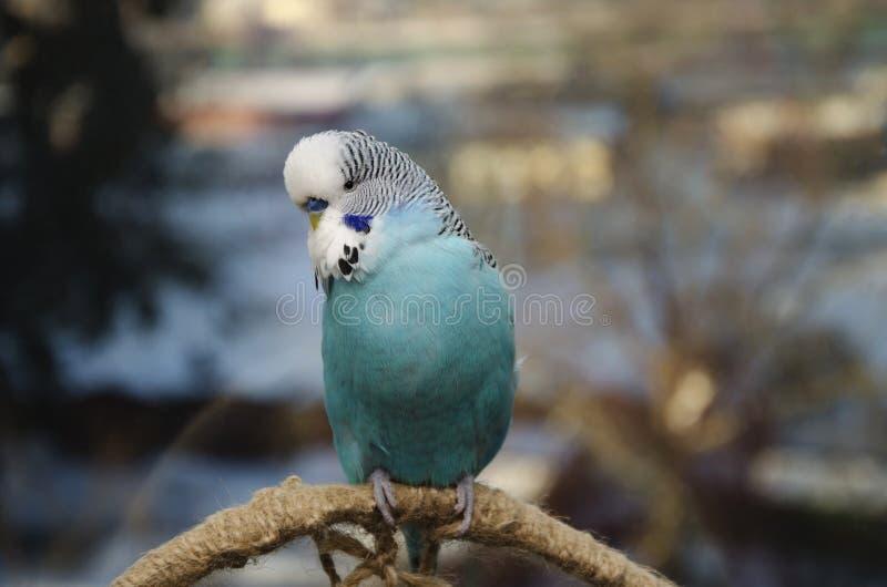 美丽的蓝色鸟,波浪鹦鹉 库存照片