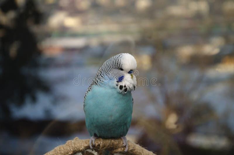 美丽的蓝色鸟,波浪鹦鹉 免版税库存图片