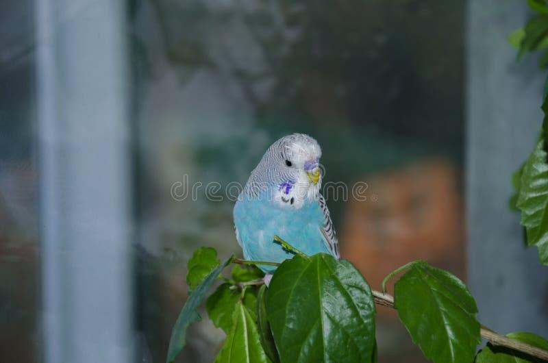 美丽的蓝色鹦哥 库存图片