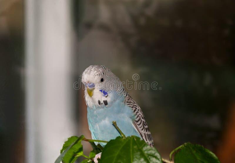 美丽的蓝色鹦哥 免版税库存照片