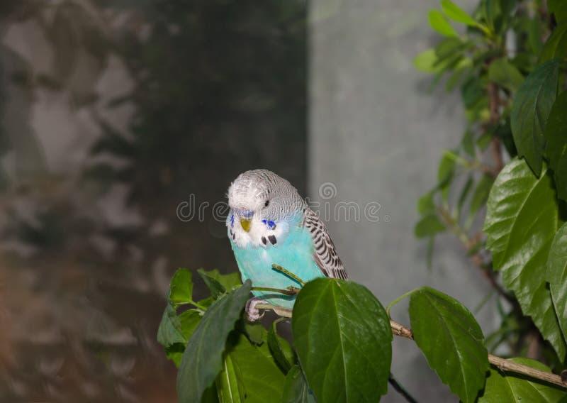 美丽的蓝色鹦哥 库存照片