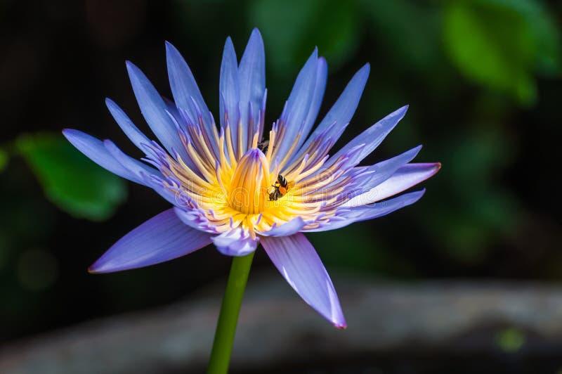 美丽的蓝色水百合或莲花与一只蜂在它的黄色stam 免版税库存照片