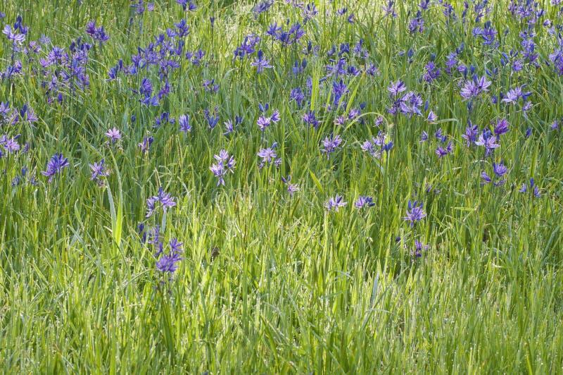 美丽的蓝色紫色卡马斯百合背景在草甸开花 免版税库存照片