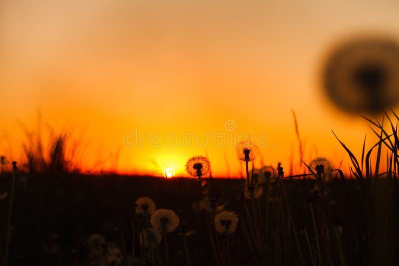 美丽的蓬松蒲公英花和草在日落 库存照片