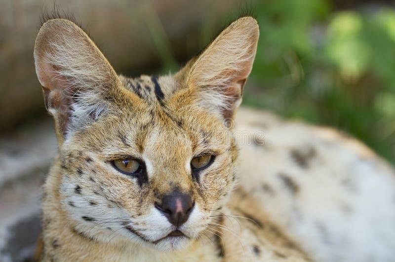 美丽的薮猫 库存图片