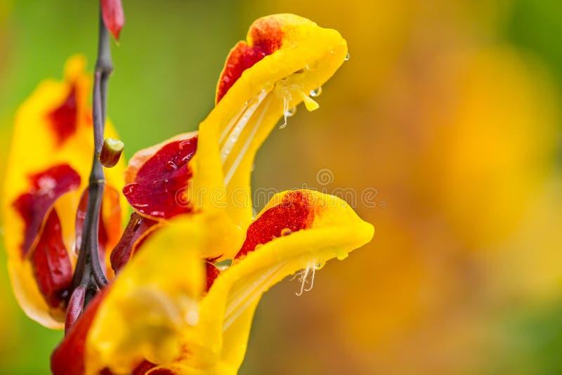 美丽的藤本植物mysorensis异乎寻常的花 图库摄影