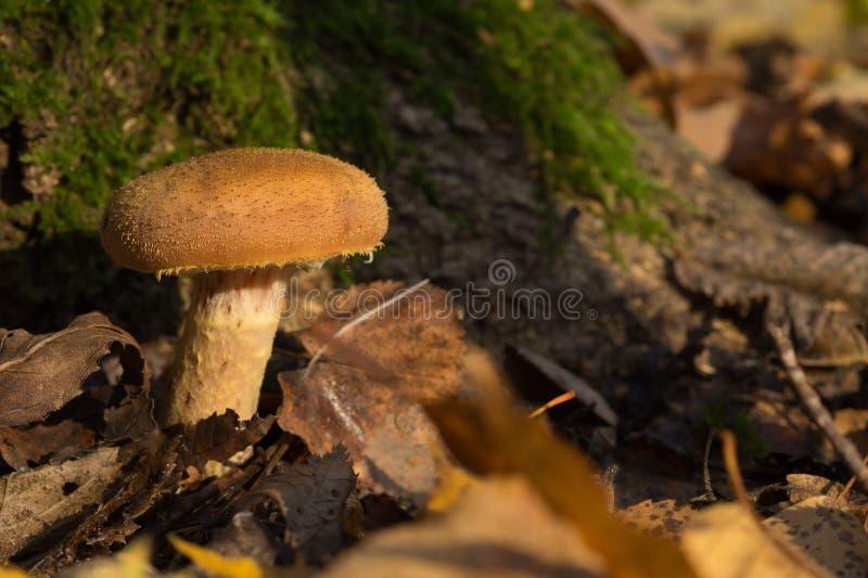 美丽的蘑菇蜂蜜伞菌在森林里 库存图片