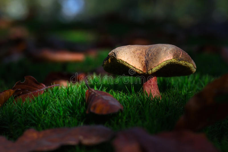 美丽的蘑菇 免版税库存照片