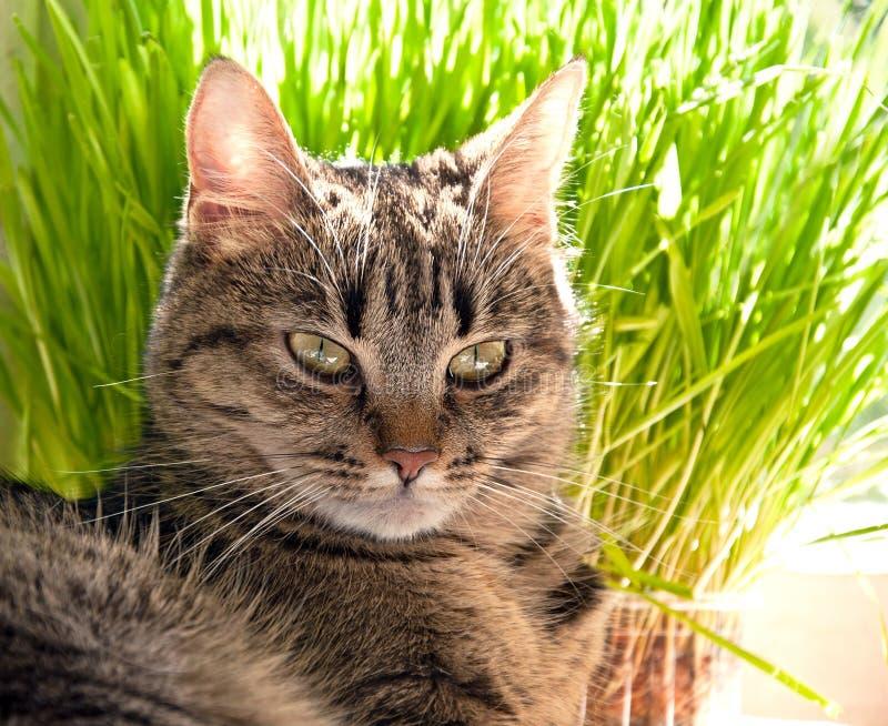 美丽的虎斑猫画象  免版税图库摄影