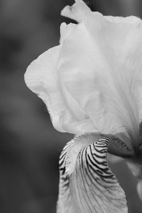 美丽的虹膜,黑白 免版税库存图片