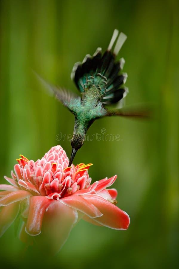 美丽的蜂鸟,与桃红色花的杂技飞行 蜂鸟绿色隐士, Phaethornis人,飞行在美丽的红色flo旁边 免版税库存图片