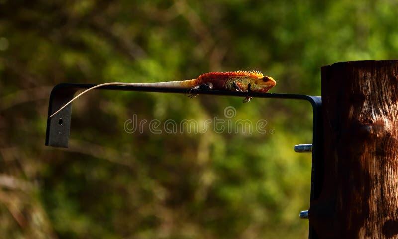 美丽的蜥蜴,杂色的calotes 库存照片