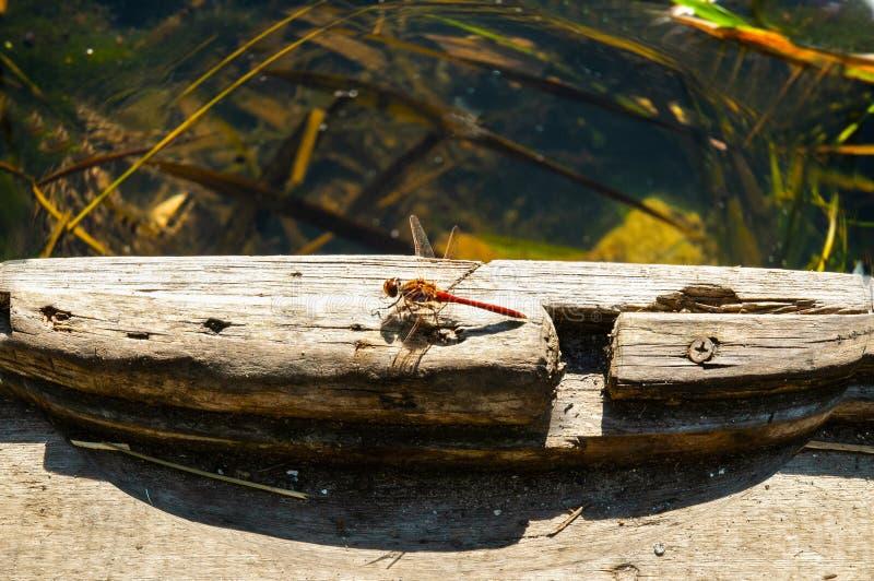 美丽的蜻蜓坐在明亮的夏天太阳下 免版税库存图片