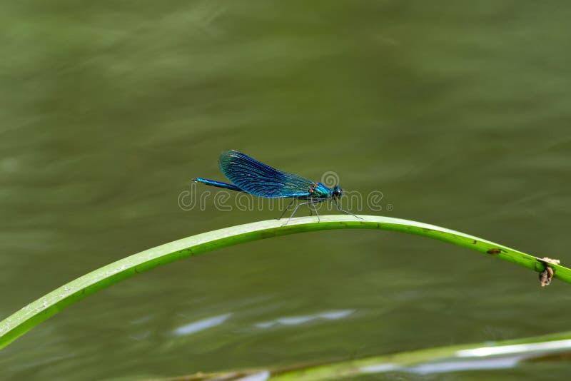 美丽的蜻蜓 免版税库存图片