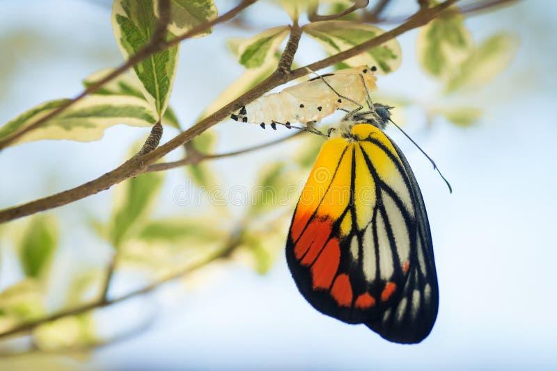 美丽的蝴蝶从它的茧涌现了 库存图片