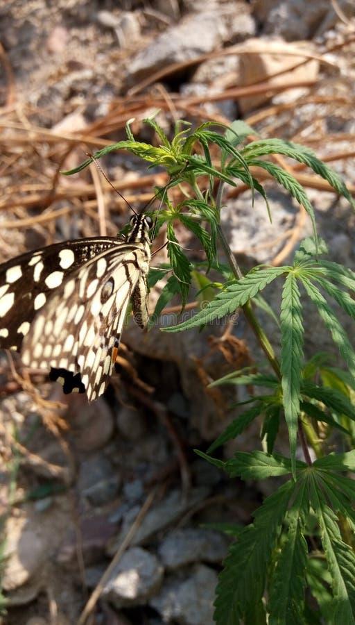美丽的蝴蝶和大麻树 库存照片