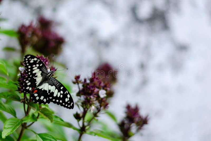 美丽的蝴蝶在紫花罗勒树花飞行吮在花粉的甜点有被弄脏的背景 库存照片