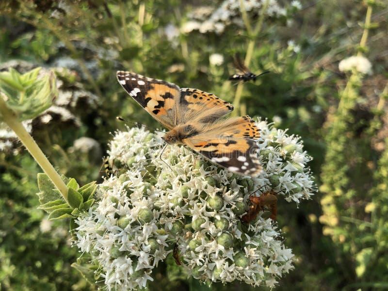 美丽的蝴蝶坐花 图库摄影