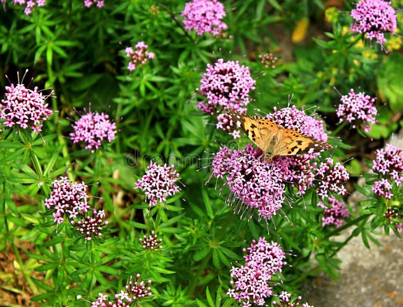 美丽的蝴蝶授粉春天花 库存图片