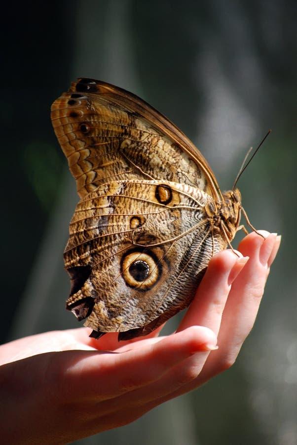 美丽的蝴蝶脆弱的现有量开会 免版税库存图片