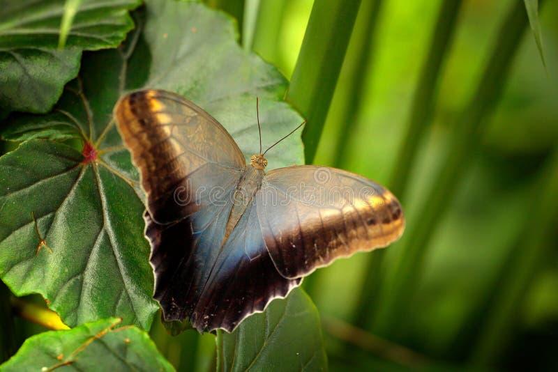 美丽的蝴蝶蓝色Morpho, Morpho peleides,与黑暗的森林,绿色植被,哥斯达黎加 在绿色叶子的昆虫在tr 免版税库存图片