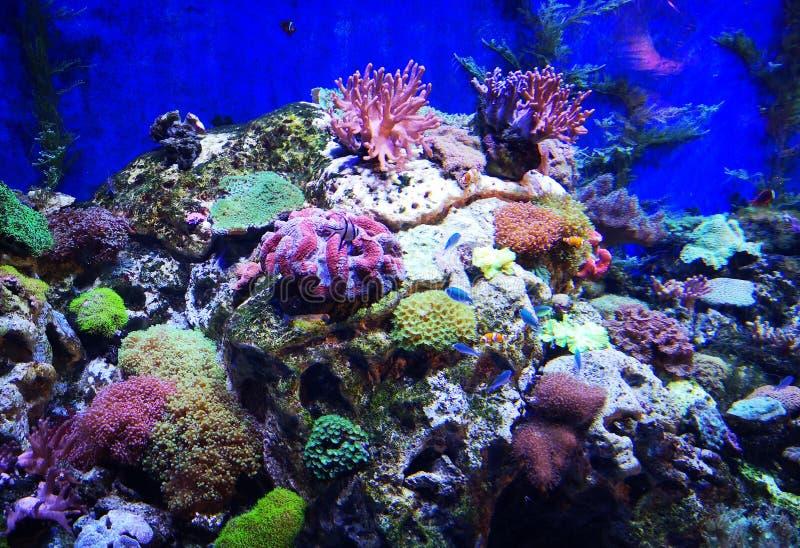 美丽的蝴蝶鱼和华美的珊瑚礁 库存图片