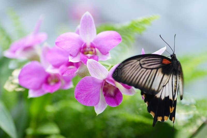 美丽的蝴蝶Papilio rumanzovia或猩红色摩门教徒 图库摄影