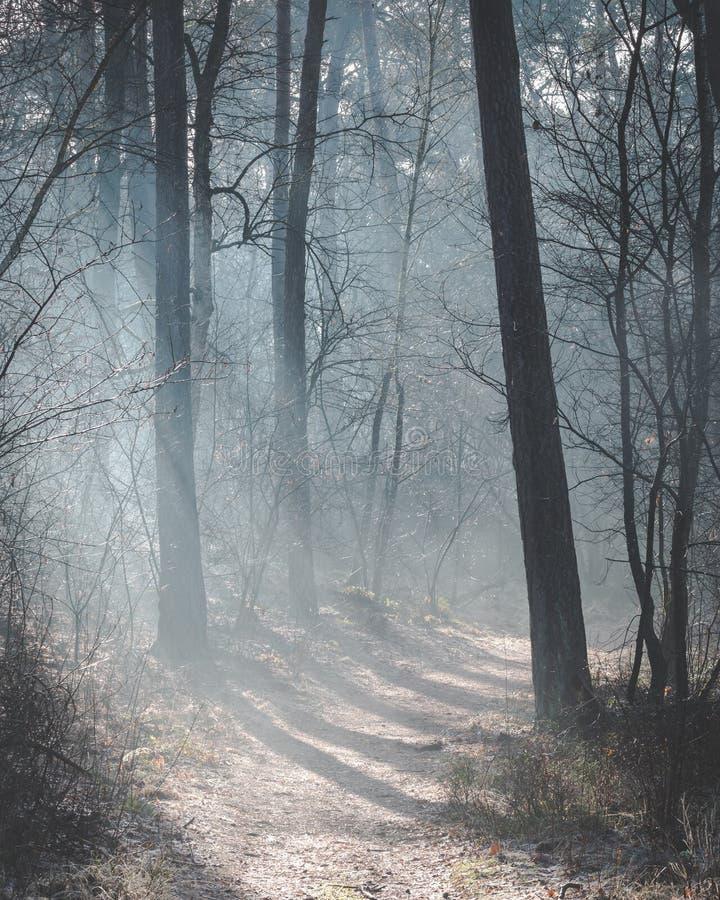 美丽的被日光照射了森林足迹在与点燃森林地板的太阳光芒的一个有薄雾的早晨 免版税库存图片