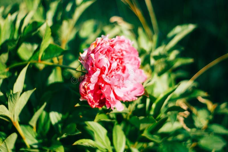 美丽的被隔绝的桃红色翠菊 图库摄影