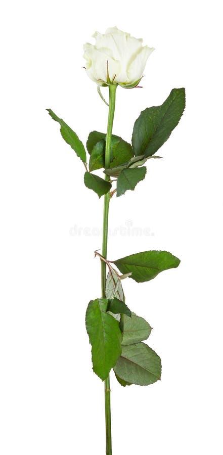 美丽的被隔绝的白色颜色玫瑰 免版税库存图片