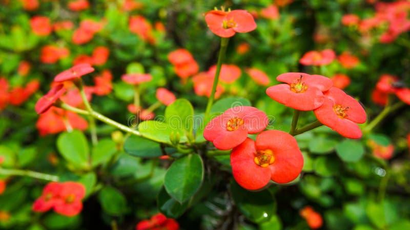 美丽的装饰的红色花 免版税库存照片