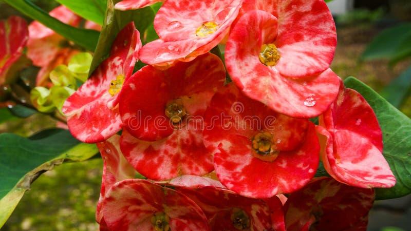 美丽的装饰的红色花 库存照片