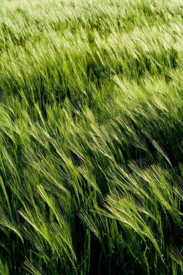 美丽的详细资料域麦子 免版税库存图片