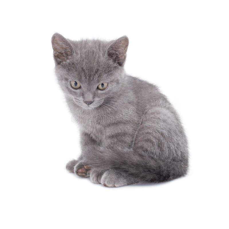 美丽的说谎的小蓝色猫在白色背景被隔绝 免版税图库摄影