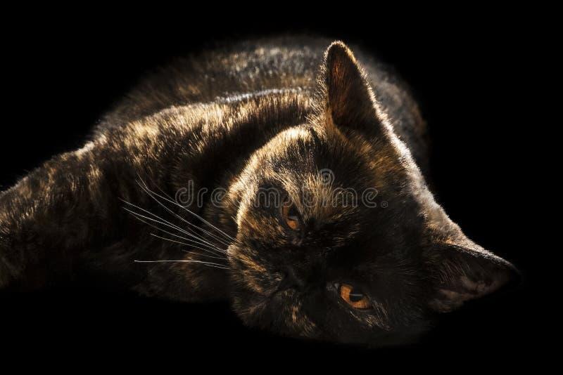 美丽的说谎的懒惰猫 库存照片